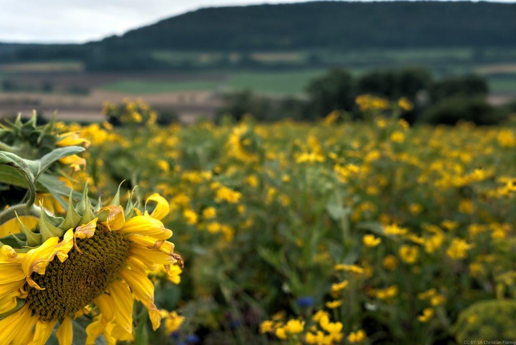Sonnenblumen kurz hinter Donaueschingen